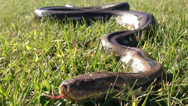 The python was found by officers with the Southwest Regional Police Department.