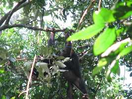 Chimps have been observed crafting basic weapons in the wild. Researchers have noted that they will sharpen sticks, which they then use as spears to hunt smaller primates (known as bushbabies), which they eat.