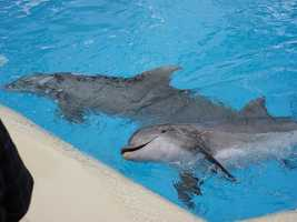 Researchers have blindfolded dolphins and found that they can imitate one another's actions, such as making certain wave patterns or splashing, even though they can't see the behavior.