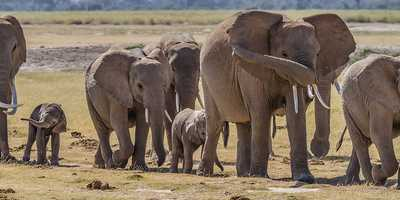 In an exercise detailed in the Proceedings of the National Academy of Sciences, researchers said elephants aced a test that measured their ability to cooperate in order to get a food reward. Not only that, the animals also devised two additional ways to get the food that researchers had not anticipated. You can see a video here that shows how elephants work together to get a reward.