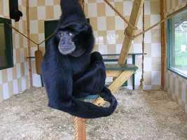 8: Gibbons