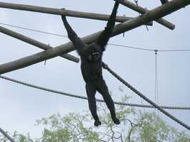 The agile gibbon, like many primates, ranks highly in animal intelligence.