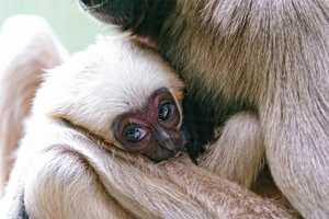 Gibbons are social creatures. However, they can be difficult to test because they are highly active and sometimes unpredictable.