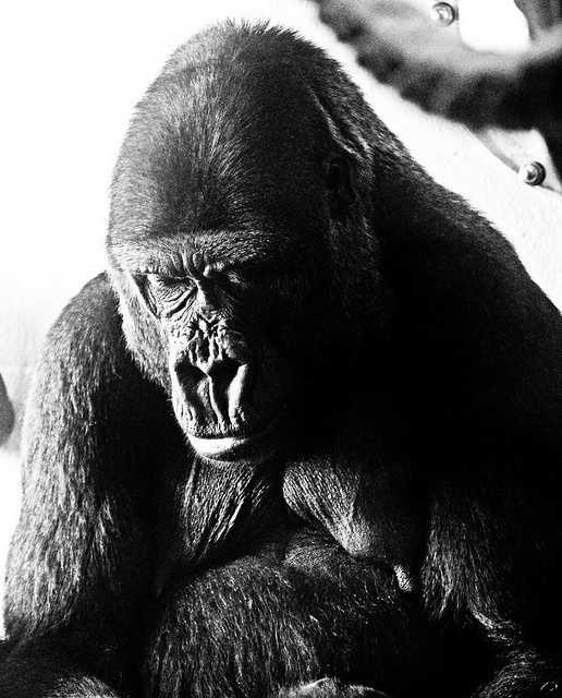 3: Gorillas
