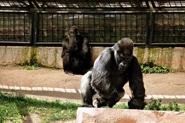 The mighty gorilla is generally regarded as one of the most intelligent animals in the world. Some captive gorillas have even been taught basic sign language.