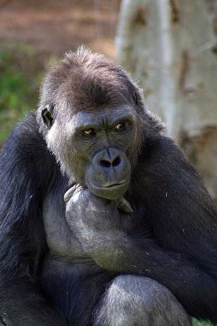 Gorillas are also capable of feeling strong emotions and can differentiate between the past, present and future.