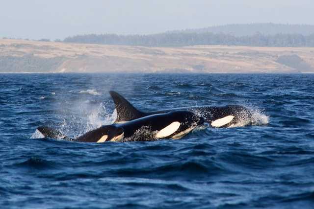 4: Killer whales