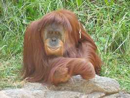 5: Orangutans