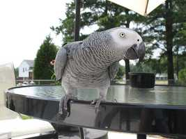 African Greys have also demonstrated vocabularies of more than 1,500 words and can use these words in the proper context.