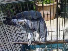 Anyone who has ever owned an African Grey parrot realizes that they are also great problems solvers. They have an uncanny ability to unlock their cages and get out.