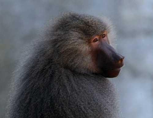 7: Baboons