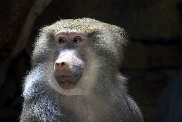 Another primate that is a smart cookie is the baboon. In a European study, baboons were able to consistently recognize whether a written word on a screen was an English word or nonsense, according to sciencedaily.com.