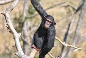 """While there is debate as to which animal is """"the smartest,"""" chimps regularly rank as one of the most intelligent of all animals."""