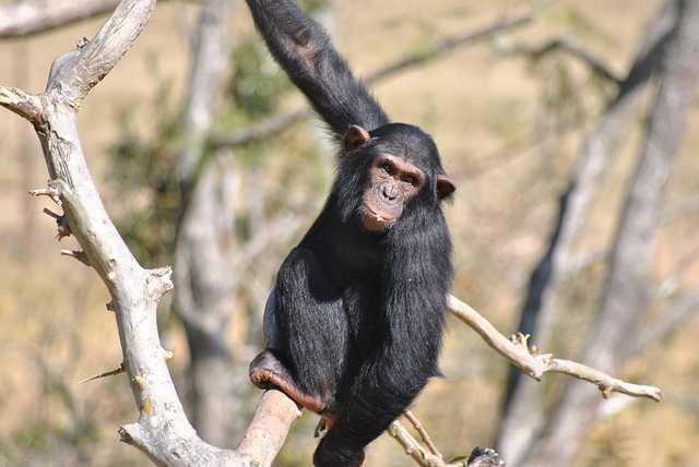 "While there is debate as to which animal is ""the smartest,"" chimps regularly rank as one of the most intelligent of all animals."