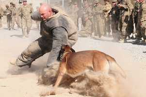 39. Command Sgt. Maj. David Inglis, 3rd Infantry Division Headquarters and Headquarters Battalion command sergeant major, wears a protective suit and is attacked by a military working dog during a demonstration of the dogs' abilities at Kandahar Airfield, Sept. 29, 2012. The military working dogs, from 3rd Infantry Division's K-9 unit, are used for various purposes including sniffing for explosive residue and protect military personnel.