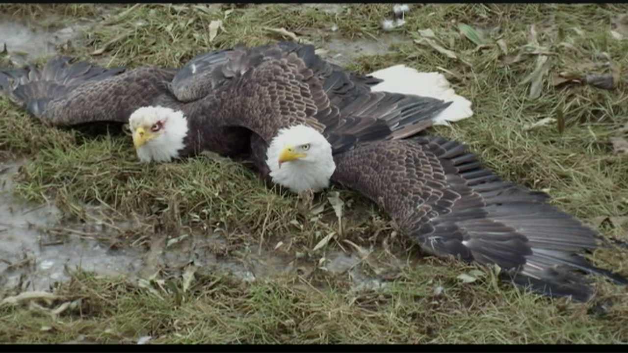 wild moments: bald eagles