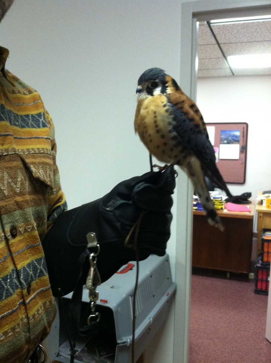 Stubley is a kestrel, North America's smallest falcon.