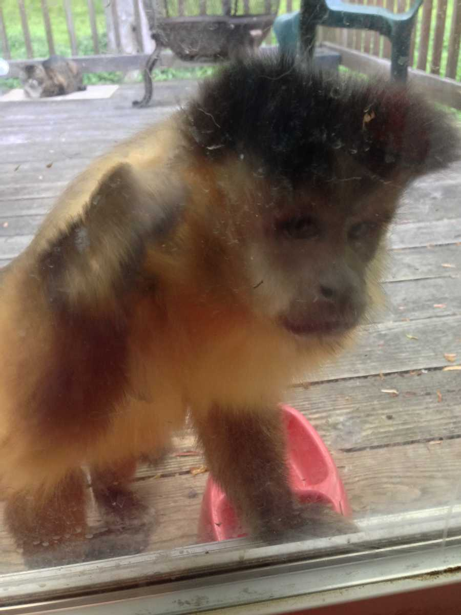 Keith Bell, of Adams County, said the escaped monkey showed up on his deck. He shared this and the following two pictures with News 8.