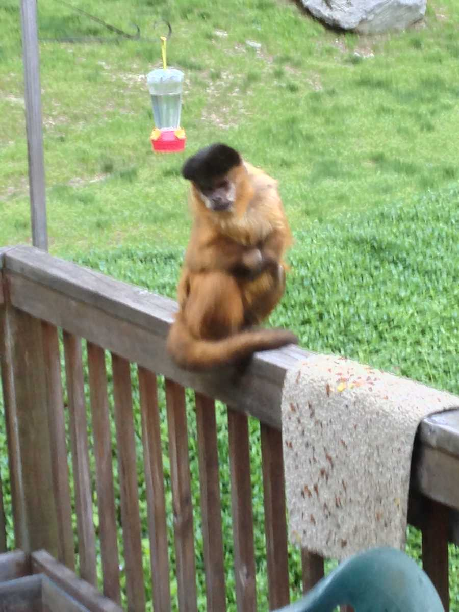 Bell said they occupied the monkey until authorities came to get it.