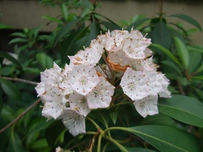 State flower: The Mountain Laurel (Kalmia latifolia) is in full bloom in mid-June. (Enacted by the General Assembly on May 5, 1933. )