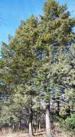 State tree: The eastern hemlock, Tsuga canadensis. (Enacted by the General Assembly on June 23, 1931.)