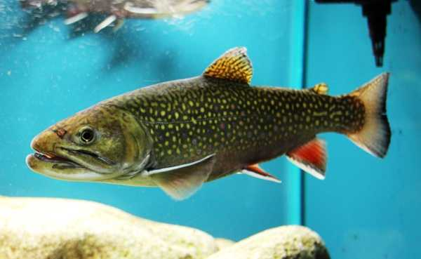 State fish: The brook trout. (Enacted by the General Assembly on March 9, 1970.)