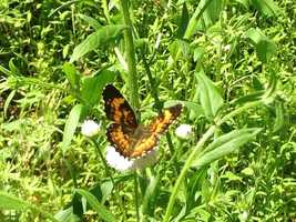 This butterfly features orange spots, white and black colors.