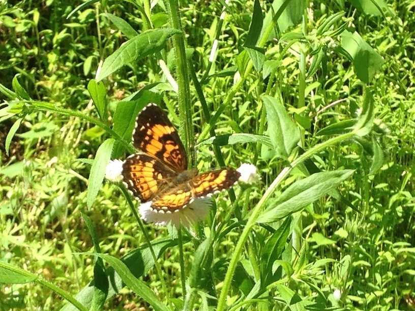 Many butterflies congregate around Shenk's Ferry.