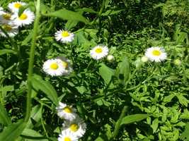A gathering of Erigeron a.k.a. daisy fleabane is pictured.