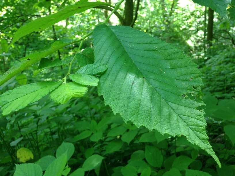 A leaf from a slippery elm tree (Ulmus) is pictured. The inner bark can be used as a medicine to treat coughs, sore throat and other ailments because of the saliva-like substance it produces.