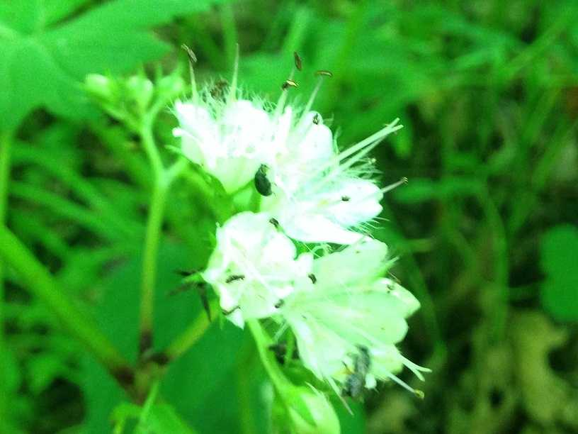 A zoomed-in picture of honewort and its white flowers.