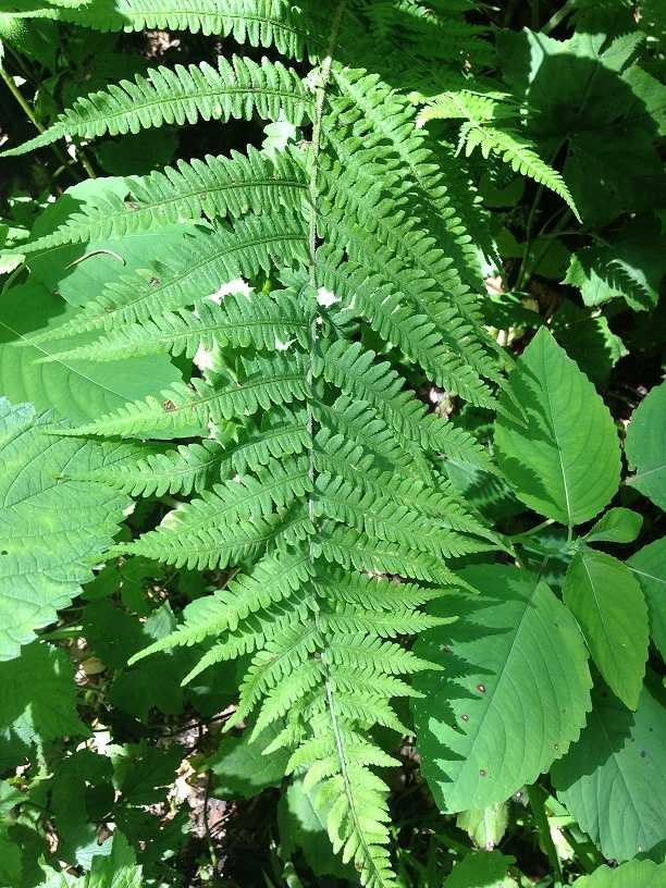 A type of Diplazium or glade fern is pictured. Draude suspected it to be a Polystichum or Christmas fern.