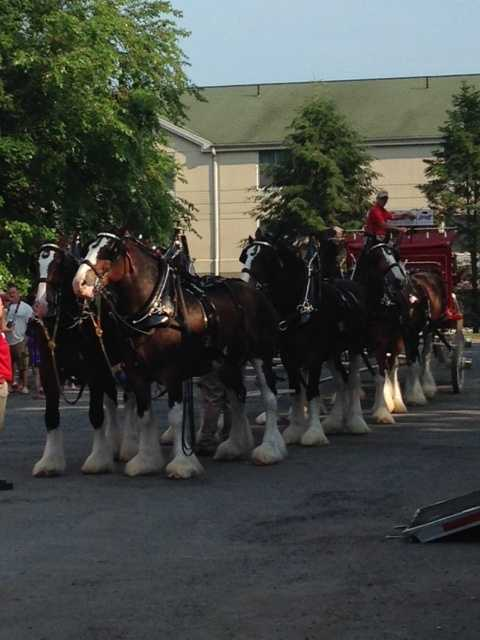 Clydesdales were developed as a breed in Clydesdale, Scotland, more than 300 years ago. A single horse can pull a 1-ton load at 5 MPH.