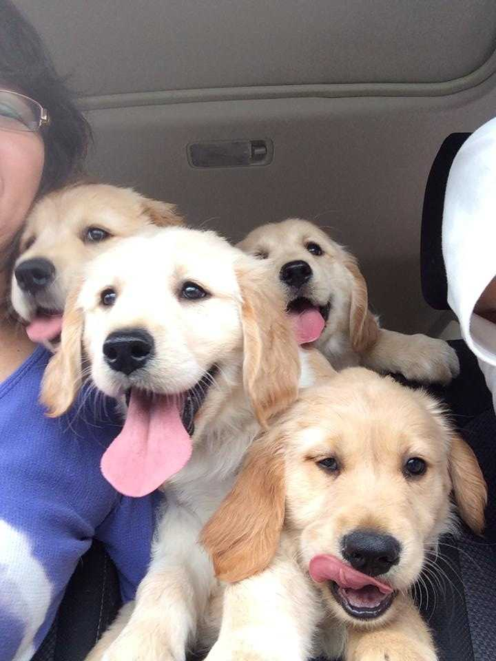 Blessy, Bingo, Buddy and Molly: Golden Retriever puppies go for a ride!