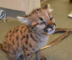 The cub was found orphaned, malnourished and dehydrated on a porch near Spokane, Washington.