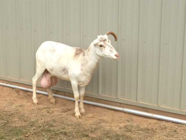 An Adams County man is expected to be charged with animal cruelty after several goats and sheep were seized from his farm.