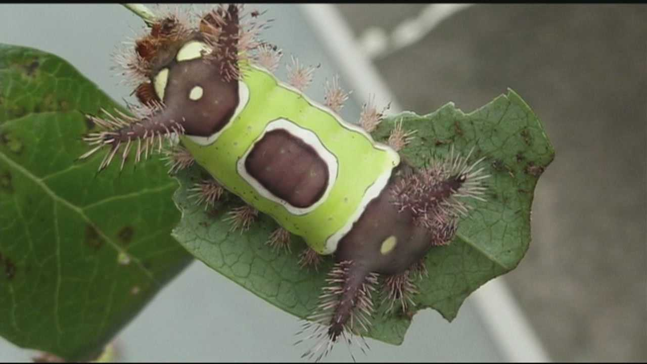 Caterpillars seem to be everywhere this time of year. Most are totally harmless with a few exceptions.