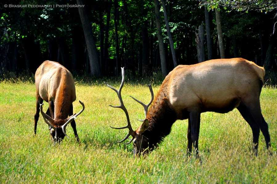 In 1913, Pennsylvania's first shipment of Yellowstone elk arrived by train. The 50 elk cost about $30 each. Half of the Wyoming shipment went to Clinton County, the other half to Clearfield County. An additional 22 elk were bought from a Monroe County preserve that year. Twelve were released on state lands in Monroe County and the remainder on a Centre County preserve.
