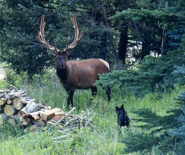To ensure the preservation of elk being released, the General Assembly in 1913 enacted a law protecting them until November 15, 1921, when a two-week elk season would be held. Bulls with at least four points to one antler were identified in the law as legal game for the distant season.