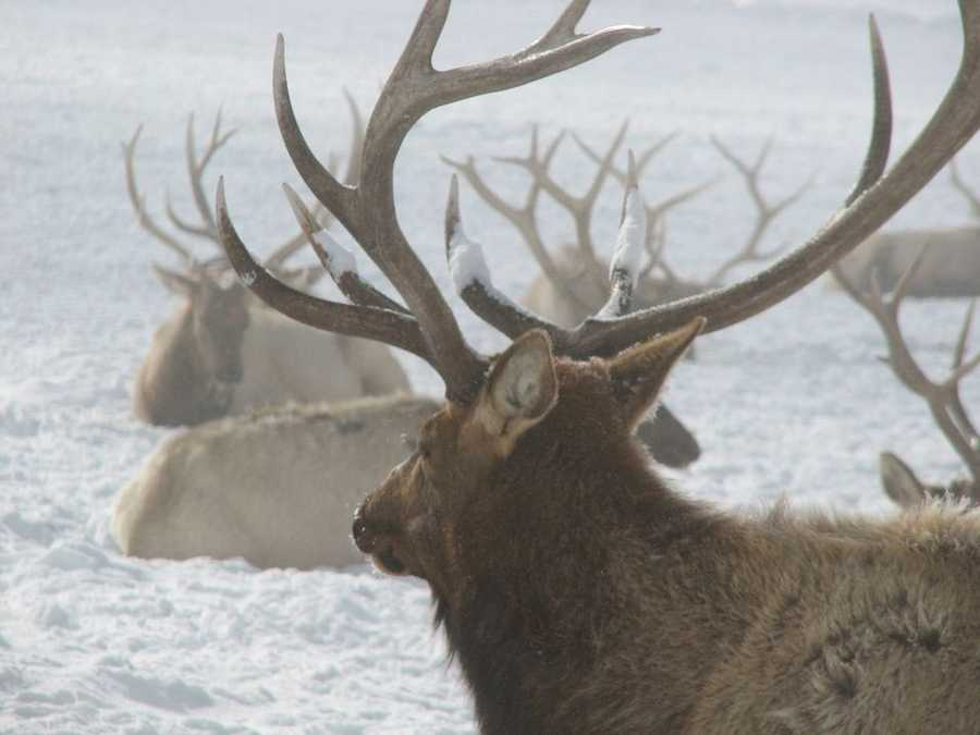 In 2000, the General Assembly and Gov. Tom Ridge enacted Act 111, which created an elk hunting license, and fees and procedures for applying for the special permit.