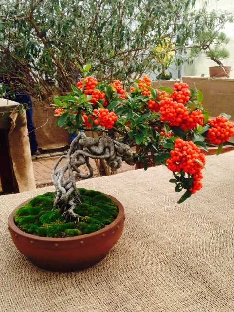 The roots of this Pyracantha, a shrub with berry-like pomes, has been crafted to grow out of the dirt.
