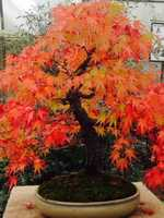 The leaves of this Japanese Maple will soon fall as seasons change.