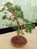 Japanese Red Pine - The Hershey Gardens bonsai exhibit runs through Nov. 9. Visit www.hersheygardens.org to learn more.