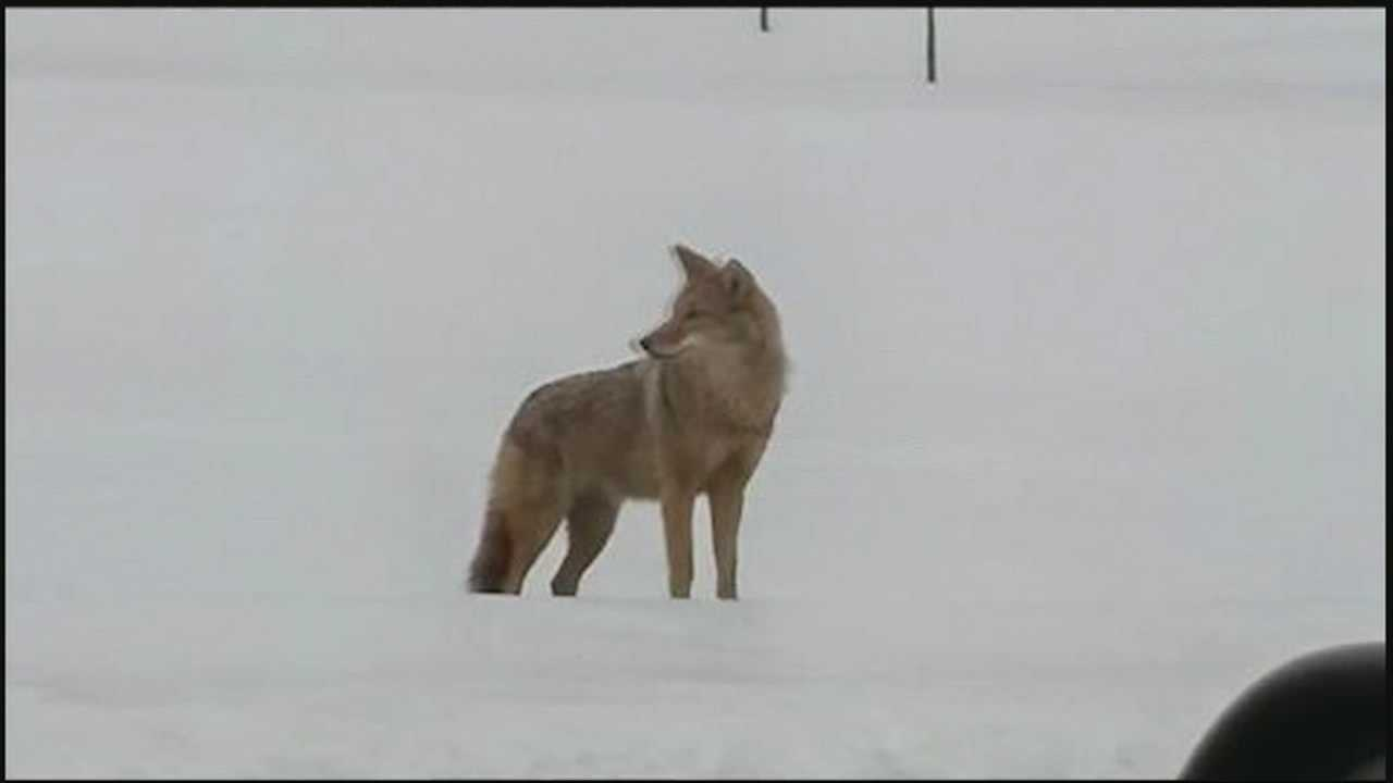 Some Lebanon County residents have reported seeing a coyote roaming the area.