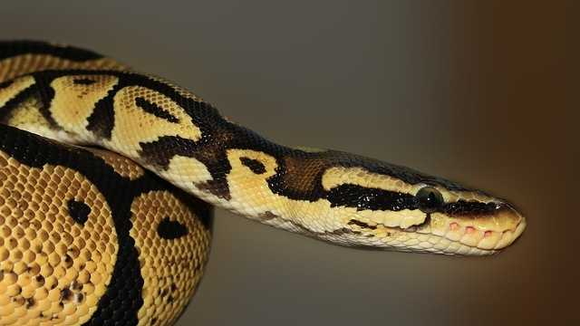 File Photo: Ball python