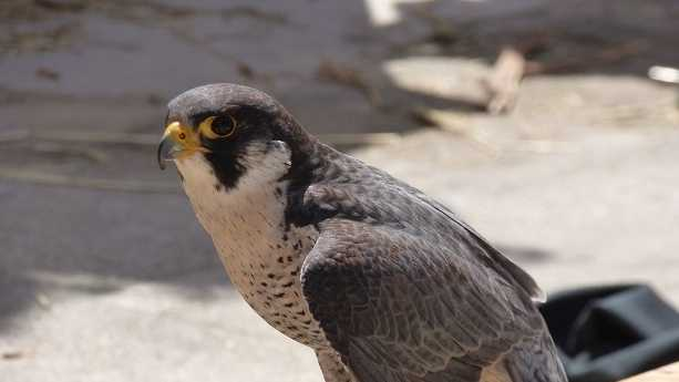 PICTURED: Stock photo of a falcon - not actual bird from story.