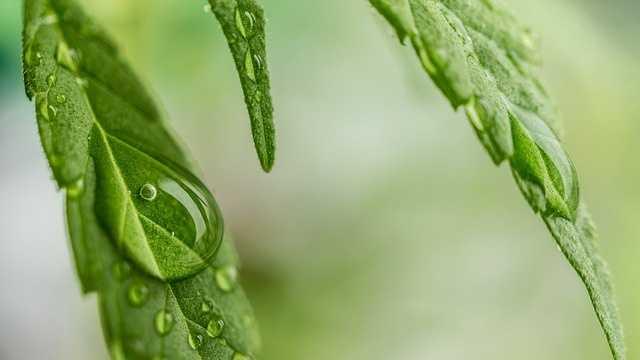 cannabis-1062904_640.jpg