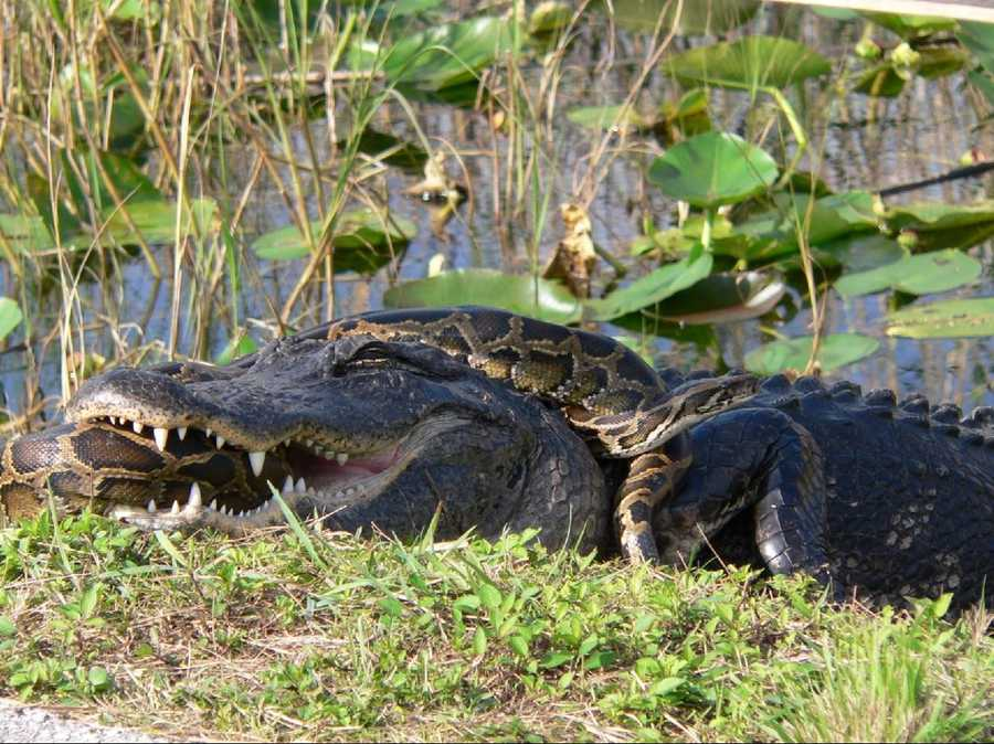 In some cases, the pythons have battled with the area's apex predator -- the American alligator. This and the following two photos show a gator and a Burmese python locked in a struggle in Everglades National Park.