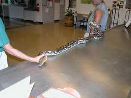 The next of the big four is the reticulated python. This one was turned in to an animal facility in Hawaii.