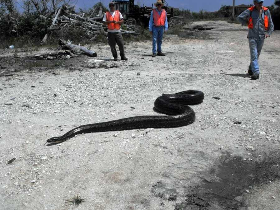 One of the other big snakes in the USGS report is the Northern African Python, which is the largest snake in Africa. Some of these snakes have been found in Florida, like the one shown above.